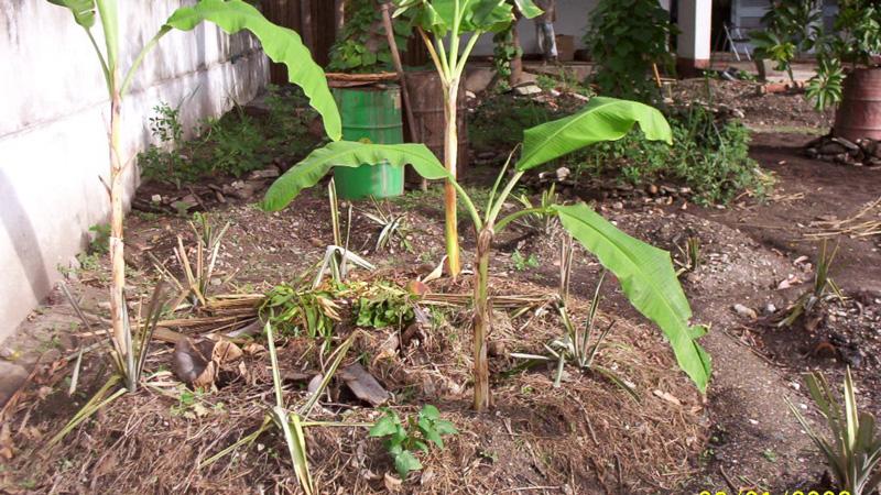 Banana Pit / Composting Gardens